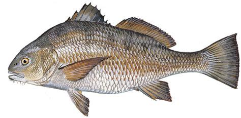 sc boating license age scdnr marine species atlantic spadefish
