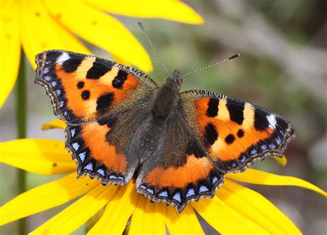 tiny petite file small tortoiseshell 9 jpg wikimedia commons