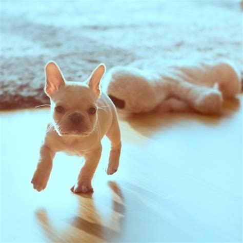 French Bulldog Giveaway - 17 best ideas about baby french bulldog on pinterest french bulldog puppies french