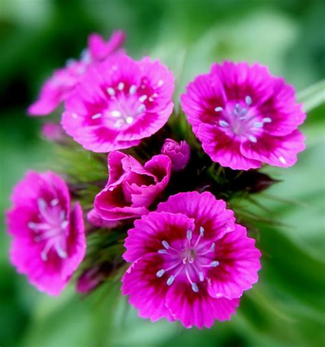 Photo De Jardinage by Photos De L Oeillet De Po 232 Te Dianthus Barbatus Jardinage