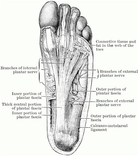 diagram of a foot diagram bone structure foot human anatomy system