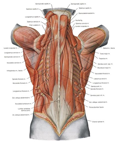 diagram of back muscles cervical paravertebral muscles paraspinal muscles names