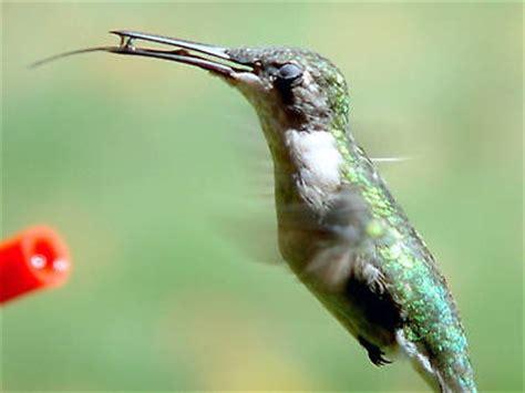 hummingbirds net