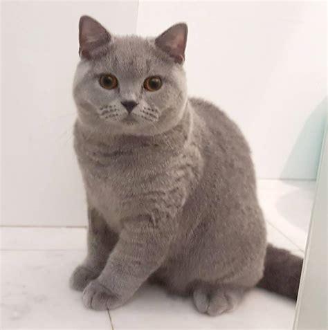 gato pelo corto gato british shorthair el gigante brit 225 nico pelo corto