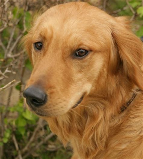 b golden retrievers dogs 187 golden retriever blogs on dogs