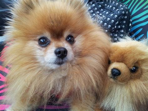 pomeranian rescue northern california a pomeranian rescue story a true survivor gimly