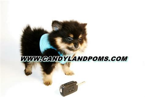 teacup pomeranian houston teddy pomerianian puppies for sale houston breeds picture