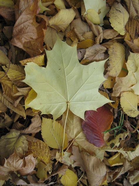 file maple leaves jpg file maple leaf jpg wikimedia commons