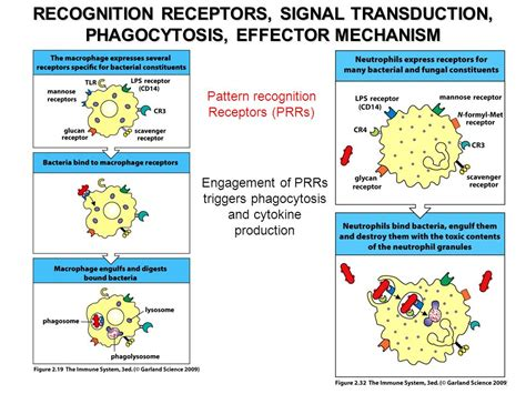 pattern recognition receptors neutrophil innate immunity i ppt video online download