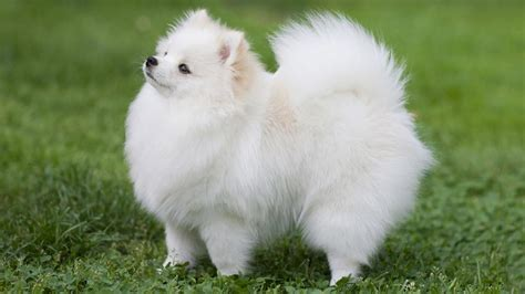 pomeranian hip problems pomeranian