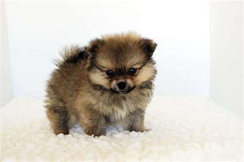 teacup pomeranian health home raised teacup pomeranian puppies breeds picture