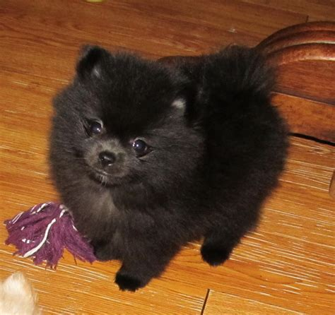 hoobly puppies for sale quality teacup pomeranian puppies for sale in hoobly classifieds