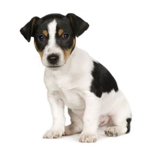 imagenes of jack russell jack russell terrier razas perros mascotas
