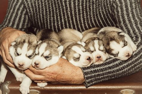 how before puppies open their during which stage of growth do puppies open their