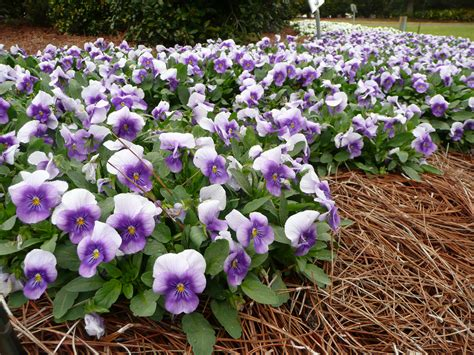 sorbet violas louisiana super plant fall 2012 lsu agcenter