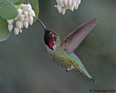 anna s hummingbird and manzanita feederwatch