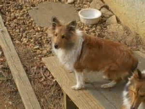 sheltie puppies for sale in tn shetland sheepdog puppies for sale