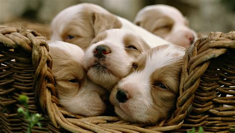 pictures of puppies sleeping sleeping puppies imgwhoop pictures of litle pups