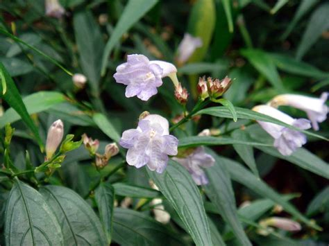 strobilanthes goldfussia   plants garden