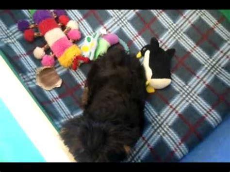 yorkie playpen yorkie puppy gabriella in playpen