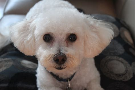 haircutsfordogs poodlemix poodle haircuts pictures dog breeds picture