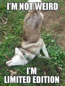 Funny Puppy Memes - funny husky meme photo memes pinterest husky meme