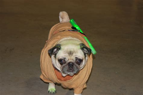 pug in yoda costume pug in yoda costume pictures to pin on pinsdaddy