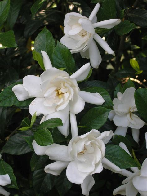 fragrant plants the most fragrant shrubs types of shrubs hgtv
