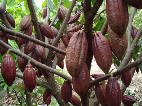 Pupuk Nasa Untuk Bunga Dan Buah budidaya kakao kita info