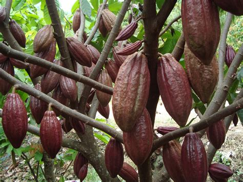 Pupuk Untuk Bunga Dari Nasa budidaya kakao kita info