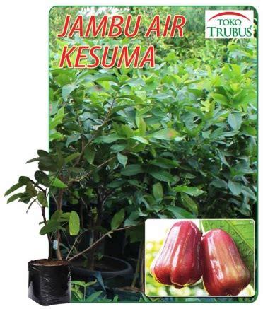 Jual Bibit Stevia Di Surabaya kebun bibit jual bibit tanaman hias buah dll ini