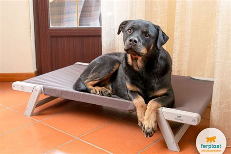 beds for rottweilers o rottweiler um c 227 o de guarda cora 231 227 o de ouro