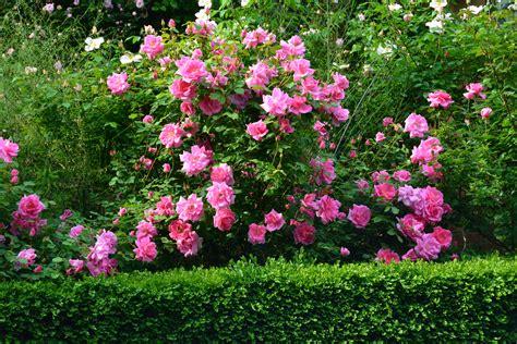 shrub roses dirt simple