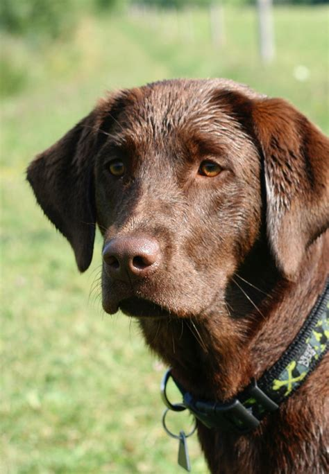 what to do if your eats chocolate toxic to labradors