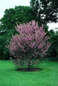 Buy Garden Pots cercis siliquastrum judas tree blerick trees buy online