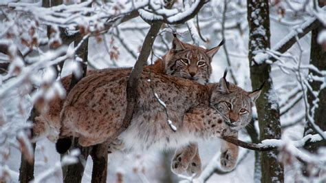 animals mammals snow trees bobcat wallpapers hd desktop  mobile backgrounds