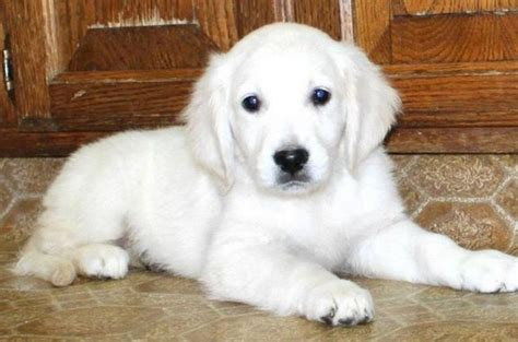white golden retriever puppies bc 17 best images about for the of white breeds on miniature