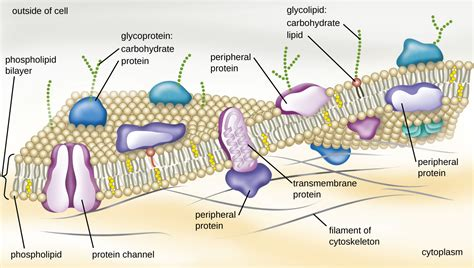 membrane transport mechanisms  openstax page