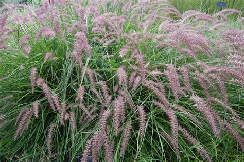 1000 images about pennisetum on pinterest grasses ornamental grasses and fairy tail