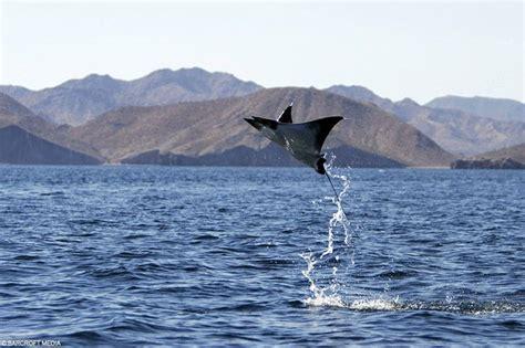 il pesce volante il pesce volante nel golfo messico galleria