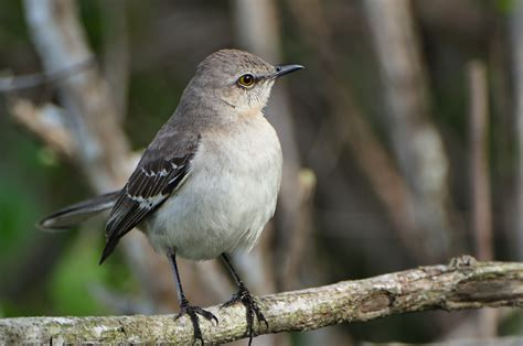 ruise 241 or mimus polyglottos northern mockingbird in the ev
