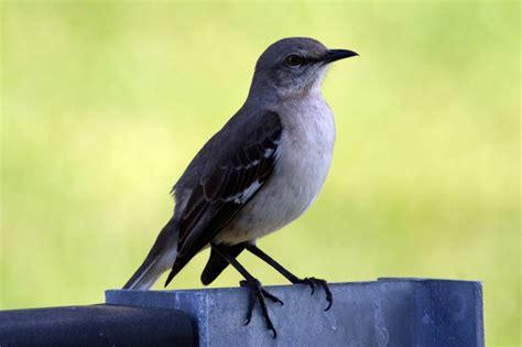 what s chirping northern mockingbird