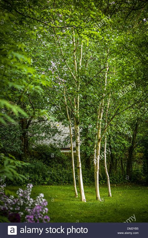 six silver birch trees in small woodland garden in cumbria