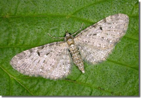 grey pug moth hants moths 70 161 golden rod pug eupithecia virgaureata