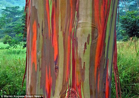 Trees That Shed by Rainbow Eucalyptus Resemble Colourful Works Of After