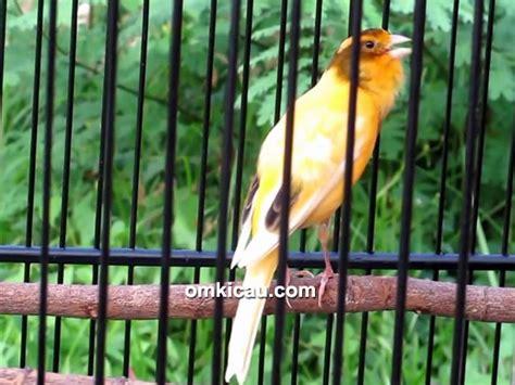 Lu Gantung Di Kenari hose sf juara umum gebyar kemerdekaan ri di lubuklinggau klub burung