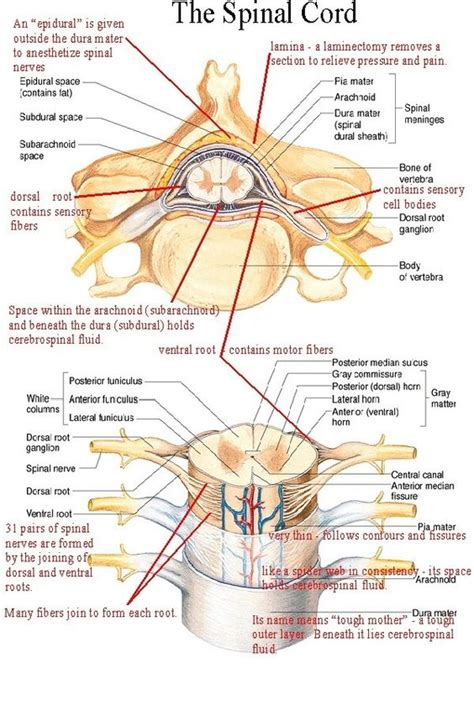 diagram of the spine and nerves neuro spine sheet nursing