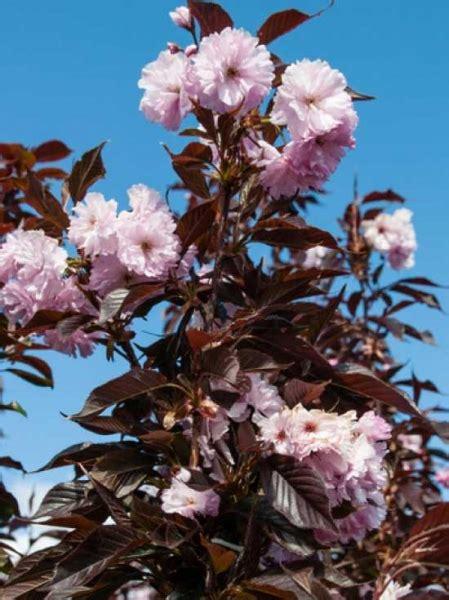 Pflanzen Bestellen 1159 by Prunus Serrulata Royal Burgundy St 228 Mmchen Rotbl 228 Ttrige