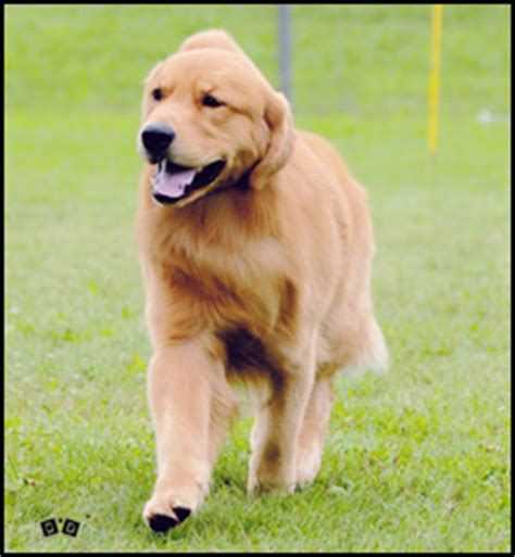 golden retrievers ottawa golden retriever breeders canada s guide to dogs golden retrievers