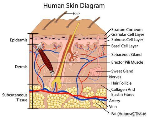 diagram of skin cell human anatomy charts inner anatomy anatomy